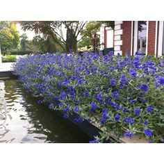 This compact, low-maintenance shrub produces a swell of stunning deep blue flowers from top to bottom in late summer and fall. 'Sapphire Surf™' is deer and drought resistant. Use it in mass, in a perennial border or as an accent plant. Planting Shrubs, Garden Shrubs, Flowering Shrubs, Backyard Plants, Low Maintenance Shrubs, Clematis Montana, Dark Blue Flowers, Cut Flowers, Colorful Flowers