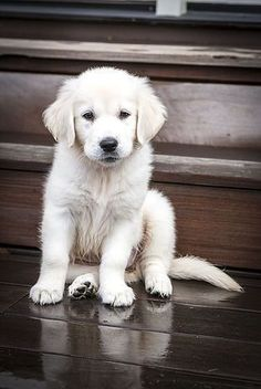 English Cream Golden Retriever Puppies #goldenretriever