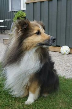 My dog Joppe a shetland sheepdog ♡