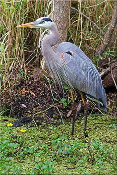 Heron (Grey Heron) at Retford on Jan 2014 Sea Birds, Wild Birds, Pretty Birds, Beautiful Birds, Animals And Pets, Cute Animals, Grey Heron, All Nature, Bird Pictures