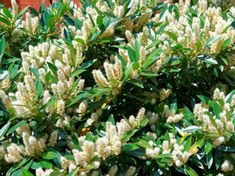 Discover the best small flowering shrubs for your home with our guide. Learn how to choose, plant, and maintain small shrubs and hedges in our handy and helpful guide! Evergreen Flowering Shrubs, Flowering Bushes, Shrubs For Landscaping, Garden Shrubs, Shade Garden, Landscaping Ideas, Bobo Hydrangea, Shrubs For Borders, Low Growing Shrubs