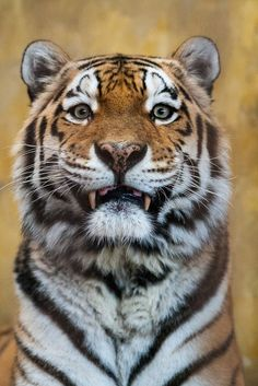 Animals And Pets, Baby Animals, Cute Animals, Wild Animals, Beautiful Cats, Animals Beautiful, Big Cats, Cats And Kittens, Tiger Pictures