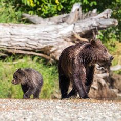 Congress just put bears and wolves on Alaska's national wildlife refuges in the crosshairs. *Please give to the Center's