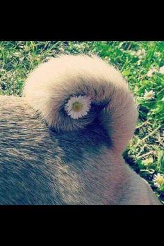 Pug tail.