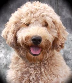 yellow labradoodle so cute <3 Looks so much like the dog we had years ago...I still miss her!