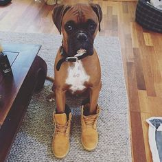 See our site for more relevant information on Boxer Dogs. It is a superb area to find out more. Big Dogs, I Love Dogs, Cute Dogs, Boxer And Baby, Boxer Love, Boxer Puppies, Dogs And Puppies, Doggies, Boxers