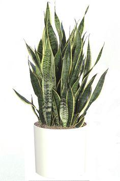 Plantes Dépolluantes - Dépollution de l´air intérieur par les plantes SALLE DE BAIN ?