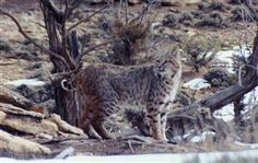 Bobcat: secretive and seldom seen; tail is about 6 inches in length; appear similar to their cousin, the lynx; occur widely in North America