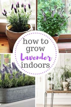 Grow lavender indoors with these tips and tricks! Gardening, Indoor Gardening, Growing Lavender, Growing Lavender Indoors, Gardening Hacks