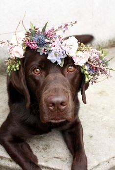 Chocolate Lab | DIY Flower Crown for Dogs | Dogs at Weddings
