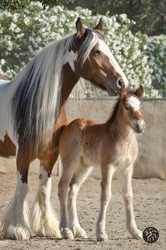 Photos - Starfire Gypsy Horses