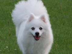 Active, loyal, and bright,[9] the Japanese Spitz are recognized for their excellent courage, affection and devotion making them excellent watchdogs and ideal companions for older folks and modest youngsters.