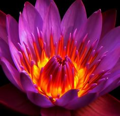 water lily by verna d