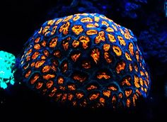 Red fluorescence of Dipsastraea (Favia) sp. coral from mesophotic reefs of the Red Sea_Image credit_Prof J Bioluminescent Animals, Woodlice, Deep Blue Sea, Red Sea, Hard Coral, Saltwater Tank, Fishing Humor, Sea World, Ocean Life