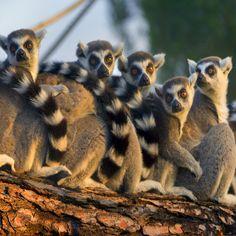 Esos eléctricos y carismáticos de la cola anillada, los lemures. #zoo