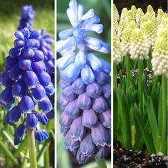 Muscari Grape Hyacinth Bulbs Perennial Spring Flowering Garden Bulbs Garden Bulbs, Perennials, Fruit, Spring, Ebay, The Fruit, Perennial
