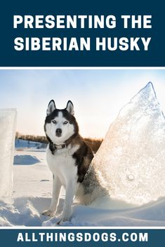 The Siberian Husky is a proud and majestic dog breed that has deep roots in the harsh northern hemisphere. Throughout their proud history, this breed has s Stop Puppy From Biting, Puppy Biting, Husky Breeds, Dog Breeds, Free Dogs, Teething, Sled, Dog Owners