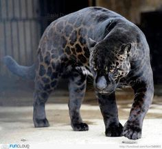 Black Panther – a typical melanistic color of any species of big cats