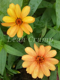 Zinnia 2018 Plants, Planting Flowers, Zinnias, Flowers, Plant Pictures