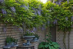 Blauwe regen, mooi groen (als een druif) in de zomer en een wilde takkengroei in de winter.