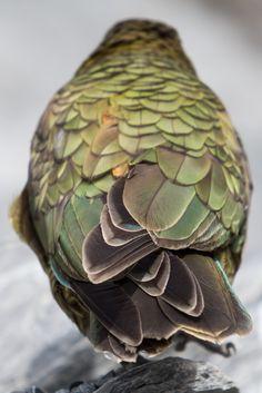 Kea (Nestor notabilis Gould, New Zealand by Simon Dubreuil Love Birds, Beautiful Birds, Beautiful Images, Linnaeus, Mundo Animal, Big Bird, Colorful Birds, Color Of Life, Green And Brown