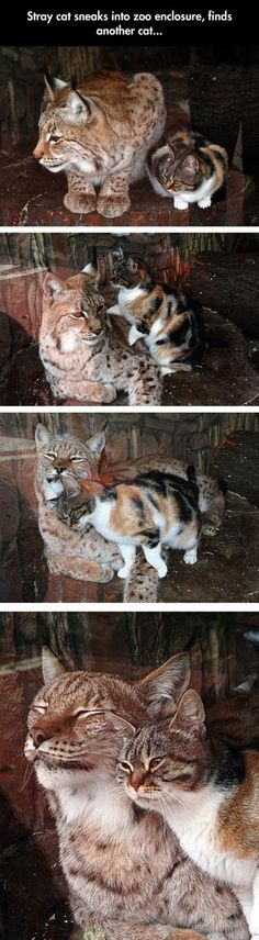 It does not surprise me that the stray being friendly to the larger cat is a calico.