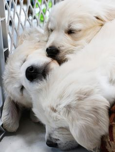 Cutest Pups, look like they're goldies, but their so cuddly I can't tell