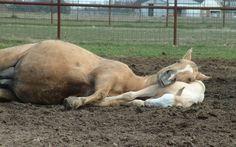 foals sleeping | wrong bedding sleeping horses