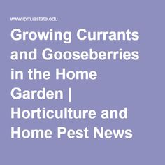 Growing Currants and Gooseberries in the Home Garden | Horticulture and Home Pest News