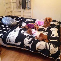 女性で、の無印良品/寝室/北欧/北欧雑貨/クリッパンのブランケット/ミナペルホネン…などについてのインテリア実例を紹介。「ここで寝てます。ワンコ達と(笑)」(この写真は 2016-10-21 00:19:22 に共有されました)