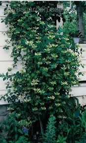 Lonicera japonica 'Halliana' - Google Search
