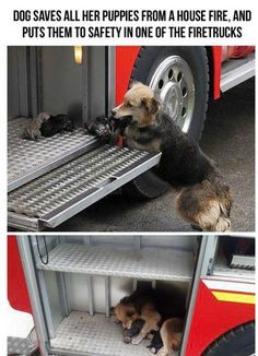 heroic mother dog. Sadly one of the puppies didn't make it, but this is a touching story. ♥ Look at her fur. She was singed and burned while rescuing them. :(  CHILE (PIX11)—  It's a story that will be sure to warm your heart. Photos of a dog who ran into a burning house to save all her puppies went viral Friday. According to reports, the house fire happened in Chile.        After bringing the pups out, the German Shepherd named Amanda loaded them on the fire truck while firefighters fough