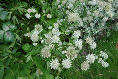 Astrantia major 'Snowstar' is een wit bloeiend Zeeuws knoopje. Deze plant bloeit in juni-augustus en wordt circa 60 en 70 cm hoog. Staat graag op een vochthoudende en tevens zonnige plaats.