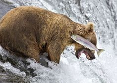 This image of a bear failing to catch a salmon was captured by Rob Kroenert, to win one of the Highly Commended certificates. Brooks Falls in Katmai National Park, Alaska, July, 2014