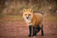 A red fox during the first snowfall of autumn 2016. Prince Edward Island, Canada.