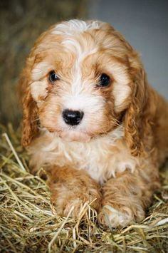 cavoodle puppy! Oh I hope Father Christmas brings us one of these!