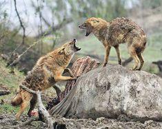 The Indian jackal (Canis aureus indicus), also known as the Himalayan jackal is a subspecies of golden jackal native to Pakistan, India, Bhutan, Burma and Nepal. Bhutan, Wild And Free, Himalayan, Kangaroo, Fox, Africa, Poses, Nature, Coyotes