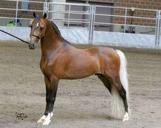 silver bay - American Shetland Pony stallion Bar Z's Great Balls Of Fire