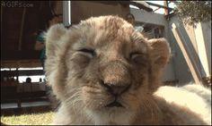 Lion-cub-falls-asleep