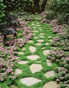 Garden pathway: blue star creeper between stones and taller, more delicate dianthus along the edges.