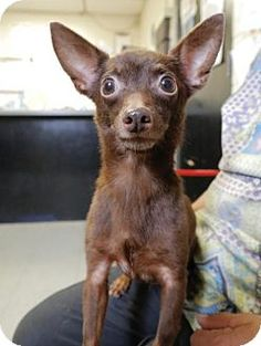 Oct. 8, 2016. Still listed. Anniston, AL - Chihuahua Mix. Meet Coco, a dog for adoption…