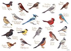 Carolina Mountain Birds Field Guide Print from Kate Dolamore Art