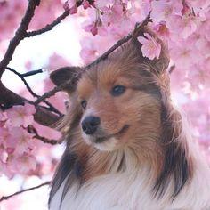 最後は、ハニィだよー 昨日は、何故か お転婆娘が少女のようなpicばかり。 選ぶの迷っちゃった(〃∀〃) 今日は、珍しく可愛いハニィをみてね! @komuginky これまた、こむぎんこさんが持ち上げてくれました!軽いハニィは、お花の香りもかげちゃうくらい高くしてもらったの。 #江ノ島散歩 #河津桜 #cherryblossom #しーくーはーちゃん #キャノン #eoskissx8i #all_dog_japan #写真好きな人と繋がりたい #写真撮ってる人と繋がりたい#犬 #愛犬 #愛犬との暮らし #わんこ #いぬ #いぬのいる暮らし #シェルティ多頭飼い #シェルティ #シェルティ大好き #シェットランドシープドッグ #sheltie #ファインダー越しの私の世界#dog #shetlandsheepdog #shelties #sheltiegram #sheltielove #sheltiepower#dog #all_dog_japan #east_dog_japan