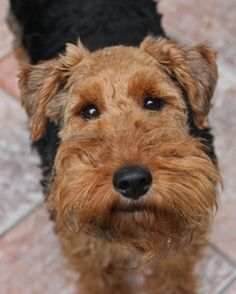 Welsh terrier is so adorable when is looking at you is so cute is my favourite kind of dog. Welsh Terrier, Airedale Terrier, Terrier Dogs, Scottish Terriers, Beautiful Dogs, Animals Beautiful, Cute Animals, Terrier Breeds, Dog Breeds