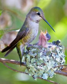 Hummingbird with Nest...I found a Hummingbird's Nest just by mistake. It was so tiny and precious. The egg is the size of a very small pebble. These birds are such Beautiful Little God's Babies.