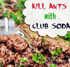 Is your {garden} ridden with ants?! Kill 'em with {club soda!}