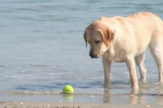 The ball just moved!...did you see that?  Ball, water and Lab.  Doesn't get much better.