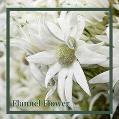 Flannel Flower, Daisy, Flowers, Daisies, Royal Icing Flowers, Flower, Florals, Bloemen, Bellis Perennis