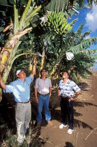 """""""GMO-Bananas are Going Into Human Trials – Why This Won't End Well, June 24th, 2014"""" -Cornucopia Institute article"""