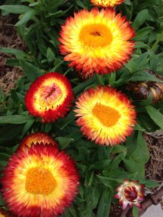 421 best straw flowers images on pinterest straws bellis straw flowers in july mightylinksfo